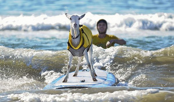Cool surfing goat