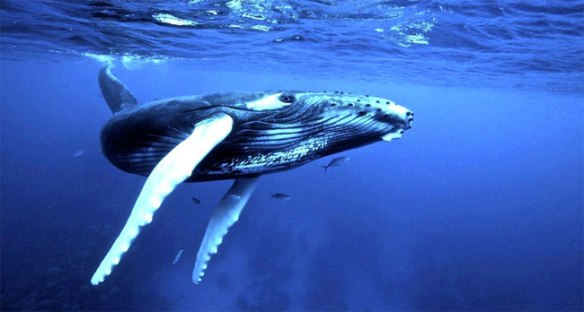 humpback_whale-song2