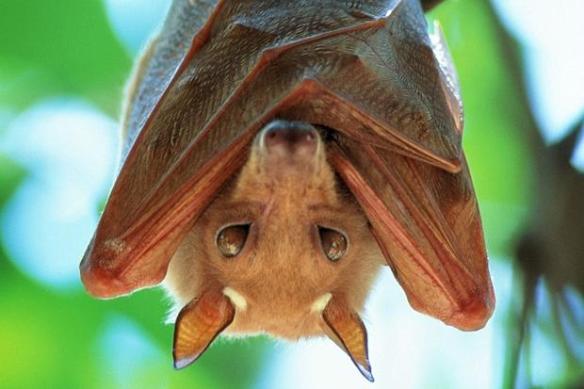 Ebola fruit bats outbreak