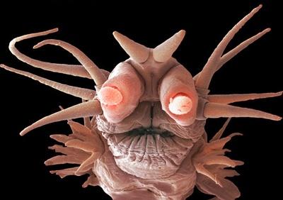 Deep sea pompeii worm