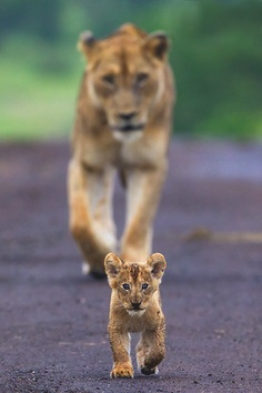 Cute lion pictures