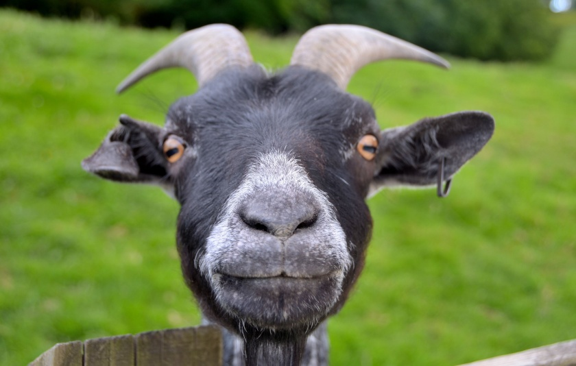 Funny Goat picture