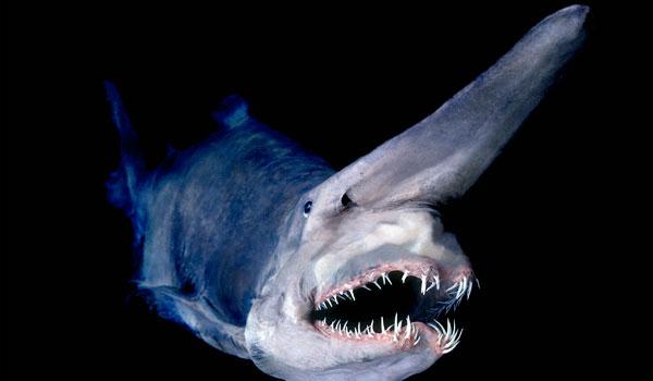 goblin shark picture