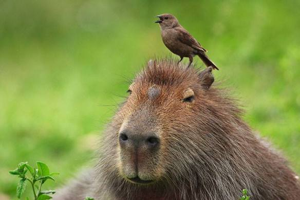 Capybara funny picture