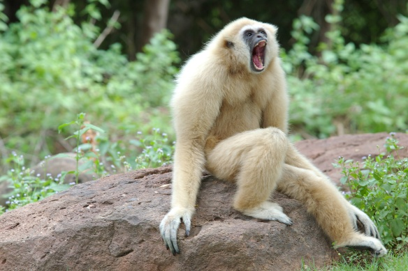 angry funny gibbon monkey
